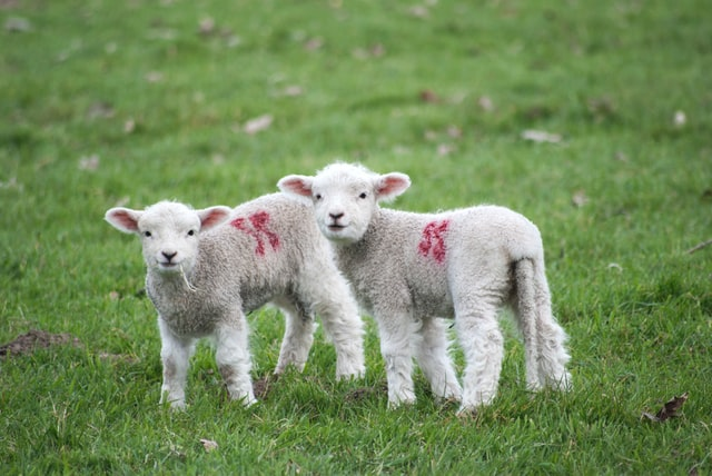 two little lambs with spray paint marks