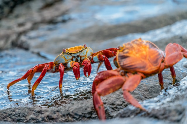 Two crabs fighting on a rock