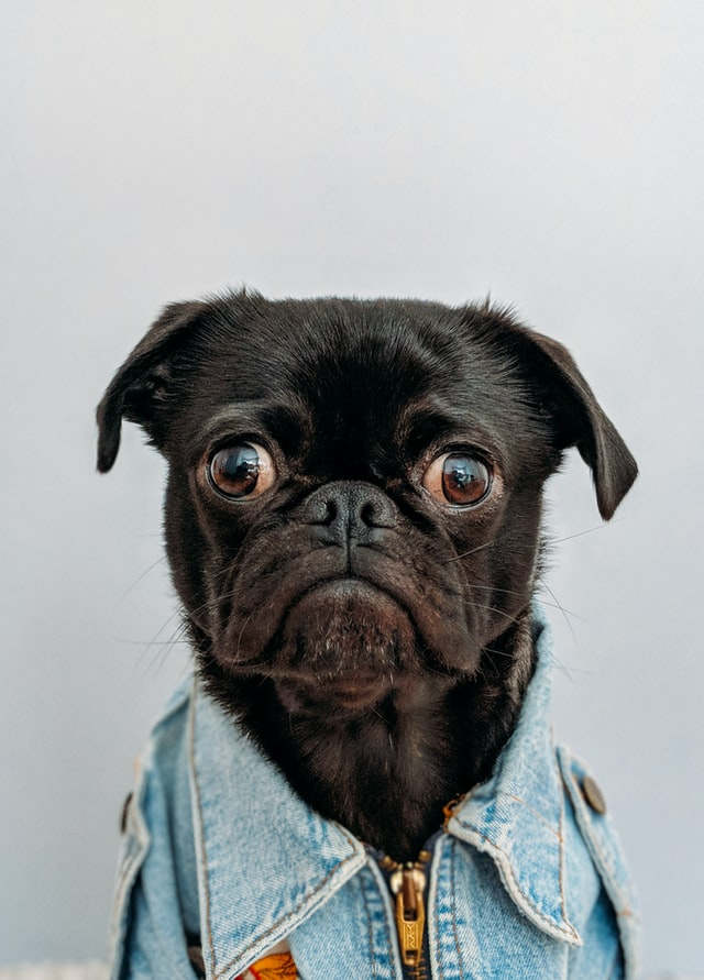 cute pug dog with a jean jacket